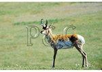 Pronghorn Antelope, Custer State Park, Rapid City, South Dakota