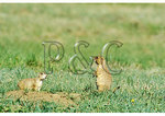 Prairie Dogs, Wind Cave National Park, Hot Springs, South Dakota