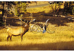 Tourist and Elk, Yellowstone National Park, Wyoming