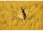 Pronghorn Antelope, Gardiner Entrance, Yellowstone National Park, Wyoming
