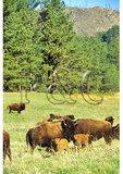 Buffalo, Custer State Park, Custer, South Dakota