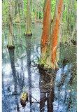 Cyprus Swamp, First Landing State Park, Virginia Beach, Virginia