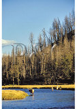 Elk and fishermen in the Madison River, Yellowstone National Park, Wyoming