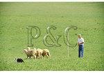 Sheep Dog Trials, Belle Grove Plantation, Middletown, Shenandoah Valley, Virginia