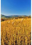 Soy Bean Field, Madison County, Virginia