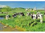 Cows in the Shenandoah Valley of Virginia