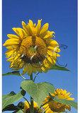 Sunflowers, Arden, West Virginia