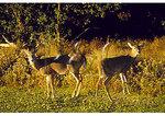 White Tail Deer, Chincoteague National Wildlife Refuge, Virginia