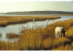 Wild Pony Grazes In the Marsh, Chincoteague National Wildlife Refuge, Virginia