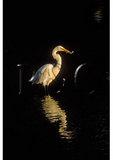 Egret feeding at sunrise, Chincoteague National Wildlife Refuge, Virginia