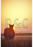 Wild horse at sunset, Chincoteague Island Wildlife Refuge, Virginia