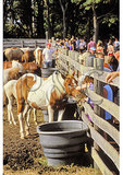 Ponies in the pen, Annual Pony Swim and Auction, Chincoteague, Virginia