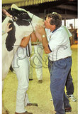 Cow Kissing Contest at County Fair - he's the winner, Rockingham County, Shenandoah Valley, Virginia