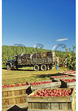 Loading Apples In Crates, Winchester, Virginia