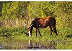 Wild Pony, Corolla, North Carolina