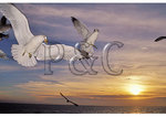 Sea Gulls at sunrise, Nags Head, North Carolina