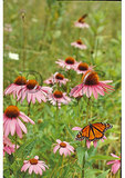 Monarch Butterfly and Cone Flowers, Shenandoah National Park, Virginia
