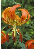 Turk Cap Lilly, Shenandoah National Park, Virginia