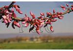 Redbud at Belle Grove Plantation, Middletown, Shenandoah Valley, Virginia