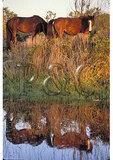 Wild Ponies, Corolla, North Carolina