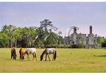 Wild Horses graze at the Dungeness ruins, Cumberland Island National Seashore, Georgia