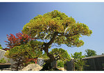Bonsai, North Carolina Arboretum, Asheville, North Carolina
