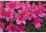 Azalea bloom at Airlie Gardens, Wilmington, North Carolina