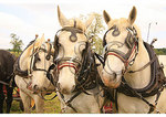Team of Percheron Horses, Churchville, Virginia