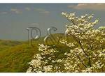 Dogwood Bloom, Shenandoah National Park, Virginia