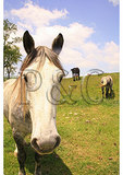 Percheron Horse, Churchville, Virginia