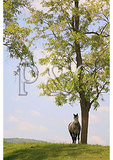 Percheron Horse and Blooming Locust Trees, Churchville, Virginia