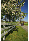 Apple Bloom and Mennonite Buggy in the Shenandoah Valley of Virginia