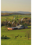Cows Graze on Farm in the Shenandoah Valley of Virginia