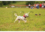 Lure Coursing, Horse &amp; Hound Wine Festival, Bedford, Virgnia