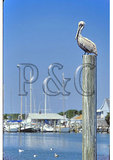 Pelican, Ocracoke Harbor, Cape Hatteras National Seashore, North Carolina