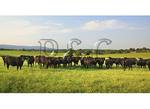 Angus Cows, Upperville, Virginia