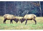 Elk Spar in Cataloochee Valley, Great Smoky Mountains National Park, North Carolina - This image is cropped to show 80% of the original 35mm slide.