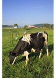 Dairy Cow in the Shenandoah Valley of Virginia