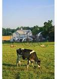 Cow and Pigs in the Shenandoah Valley of Virginia