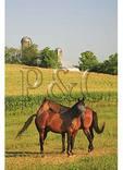 Horses and Corn Field, Dayton, Shenandoah Valley of Virginia