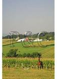 Horse and Corn Field, Dayton, Shenandoah Valley of Virginia