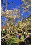 School Tour under Blooming Dogwood, State Arboretum of Virginia, Boyce, Virginia