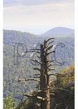 Woolly Adelgid Damage, Hemlock Springs, Shenandoah National Park, Virginia