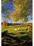 Sheep, Western Highland County, Virginia
