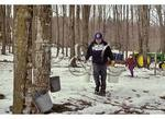 Collecting Maple Sap, Doe Hill, Virginia