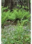 Ferns and Bluets, Limberlost, Shenandoah National Park, Virginia