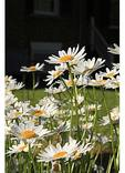 Daisies in Garden, Point of Honor, Lynchburg, Virginia