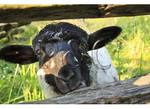 Sheep, Pioneer Farmer Site, George Washington's Mt. Vernon Estate & Gardens, Mt. Vernon, Virginia