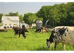 Mennonite Buggy Passing Cows in the Shenandoah Valley of Virginia