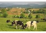 Sparing Cows in the Shenandoah Valley of Virginia